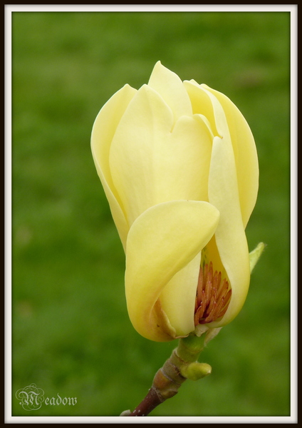 magnolia-yellow-bird-1