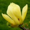 magnolia-yellow-bird-2