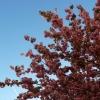 kralova-stolice-kvetouci-tresen