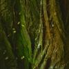 kura-stromu