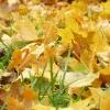 zlate-listy-v-trave