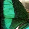 smaragdova-kridla