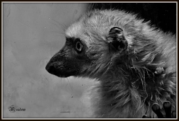 lemur sclateruv