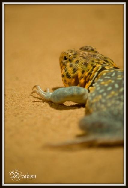 Leguanovec obojkovy 2