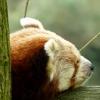 panda-cervena