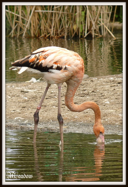 zoo-ptaci-plamenak