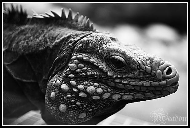 Leguan kubansky
