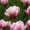 tulipany-vaclavske-namesti