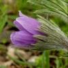 koniklec-zahradni
