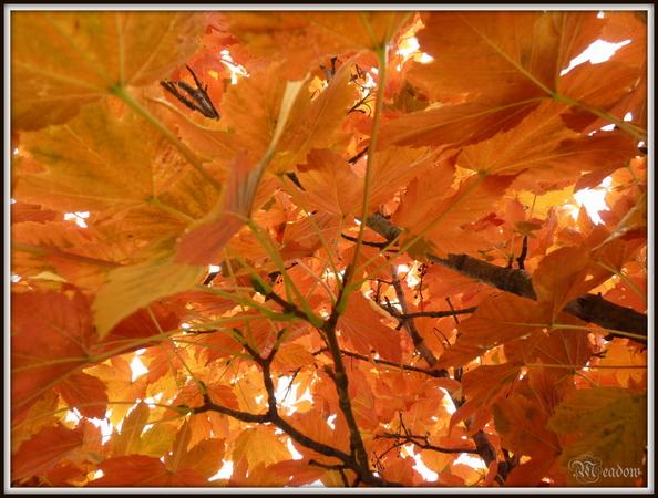 podzimni-javory