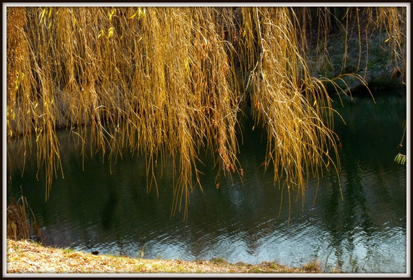 vrba-u-rybnika-2