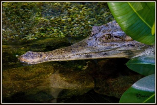 krokodyl stitnaty
