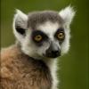 To jsem ja lemur