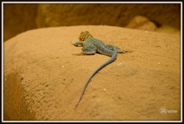 Leguanovec obojkovy 1
