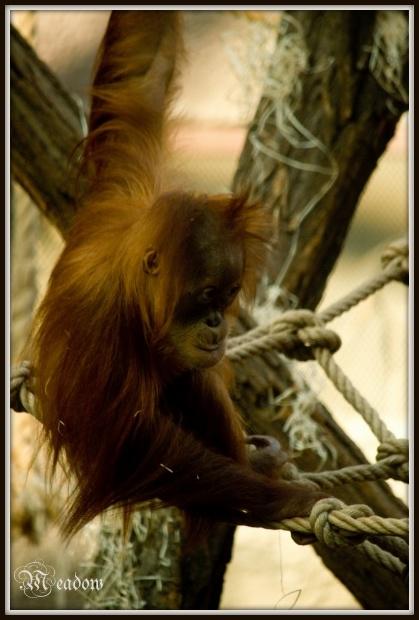 Orangutan sumatersky 1