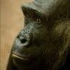 Gorila nizinna