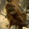Orangutan sumatersky 2