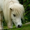 shetlandsky-pony
