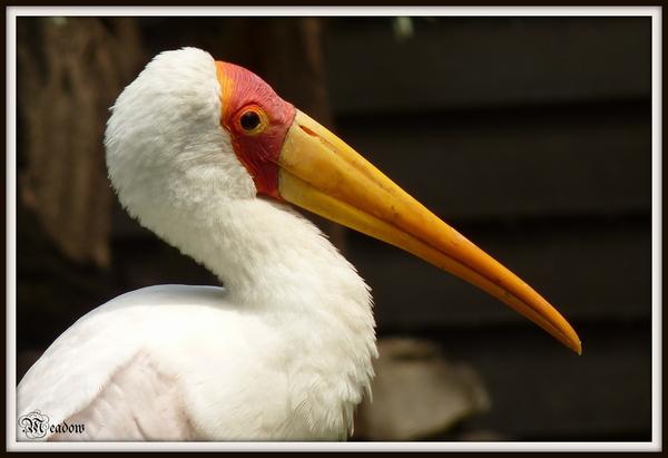 zoo-ptaci-nesyt-africky