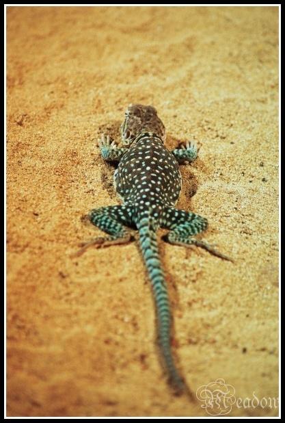 Leguanovec obojkovy