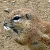zoo-zvirata-psoun-preriovy