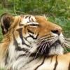 zoo-zvirata-tygr